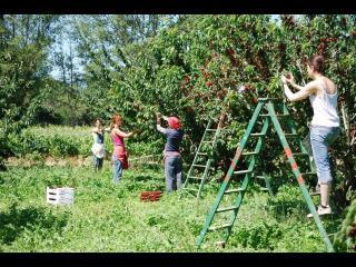 Quatre personnes et deux échelles, pendant la cueillette de fruits