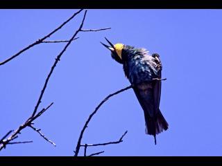 Un oiseau bleu à tête jaune est sur une branche, il chante