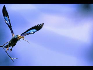 Un oiseau bleu à tête jaune s'envole d'une branche, un insecte dans le bec