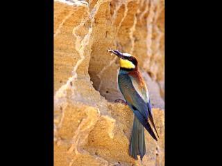 Un oiseau bleu à tête jaune et collerette orangée picore des insectes dans une roche