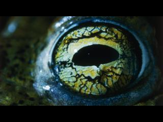 Gros plan sur l'oeil d'un batracien